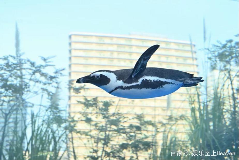 企鹅在城市中飞起来了?日本神奇摄影照引网赞:可爱看不腻