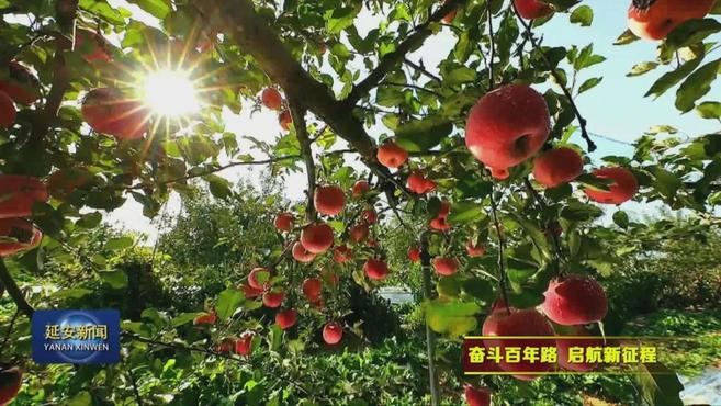「奋斗百年路 启航新征程·小康圆梦」延安市富县:美丽果园带来甜蜜生活