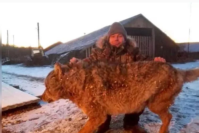 最强爱狗人士!为保护农场 俄国农夫赤手空拳打死巨狼