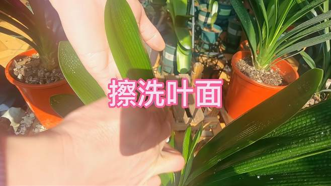 你会正确擦洗君子兰叶面吗,像我这样可以提高君子兰表面抗菌能力