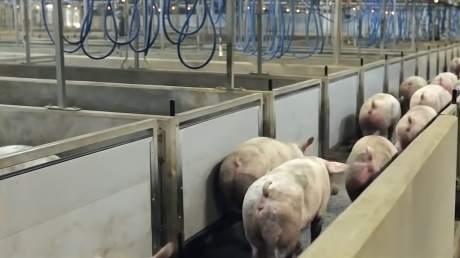 人类的食物生产流水线,却是猪的终极刑场,走进残酷猪肉加工厂