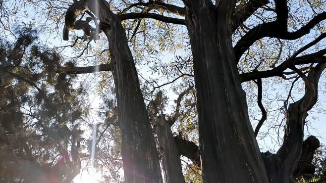 北京天坛公园有多少古树?