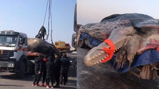 大连渤海海域巨头抹香鲸搁浅