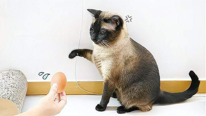 猫咪竟然和鸡蛋打架?不是应该香香地吃吗?