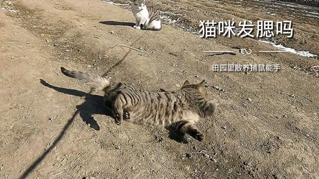 田园功夫猫,谈谈猫咪发腮那些事儿!