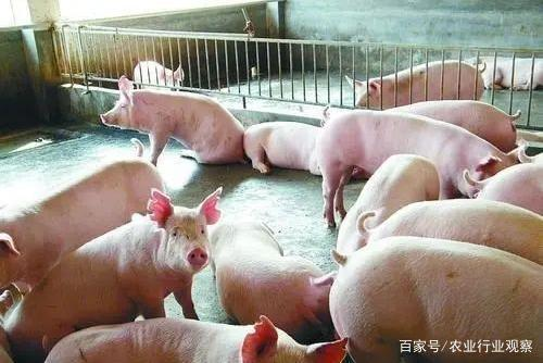 政策:加强中小养猪户的指导帮扶;返乡农民工仅20%的搞种养