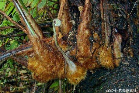 """农村1种奇怪植物,酷似金毛狗,过去山里很多,如今""""一金难求"""""""