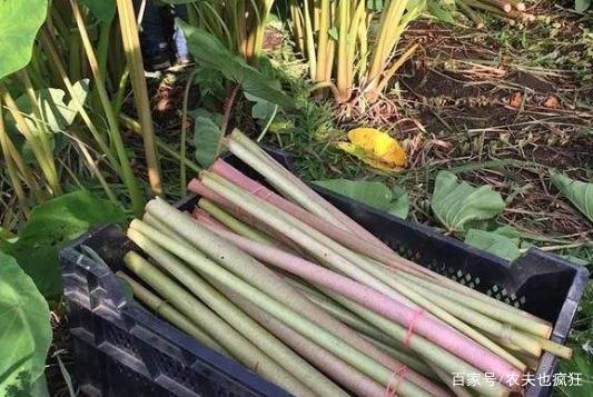 原产自我国,曾是农民的救命粮,叶梗腌酸菜是一绝,不知道可惜了