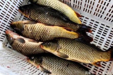 最早的淡水鱼之一,北方被视为宴席上品,南方3元1斤却无人问津