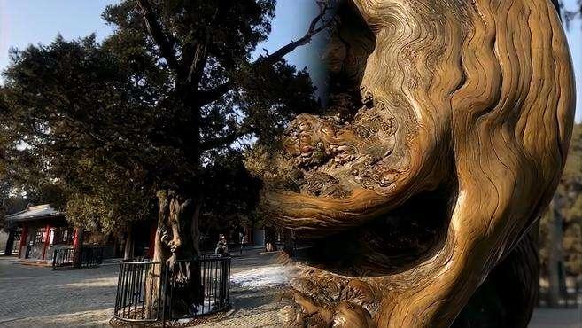 北京天坛540年古树被游客盘出包浆