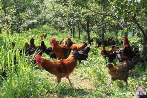 """""""树上结果,树下养鸡"""",林下养鸡为何现在无人问津了?看完懂了"""