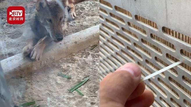 北京动物园游客扎堆喂狼吃草