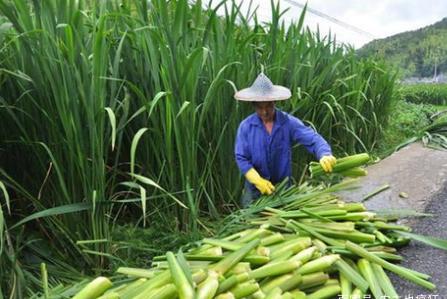 我国特有水生蔬菜,在古代是粮食,感染病菌成蔬菜,南方大量种植