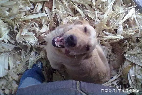 即将上餐桌的金毛犬被好心人救下,解开铁链那一刻狗感动哭了
