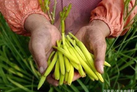 南方一种稀罕菜,吃花却不吃叶,钙含量是菠菜7倍,晒干后60元1斤