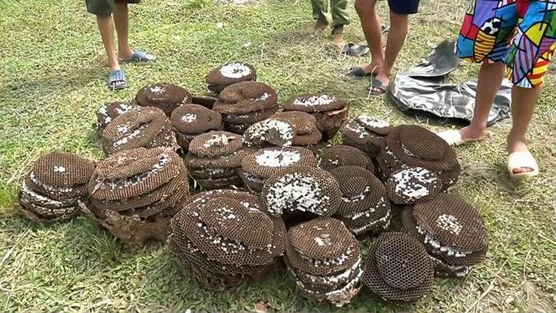 农村里的马蜂养殖基地,一下子就取了好多蜂巢,今年赚大发了