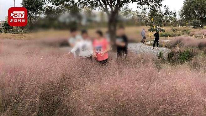 游客跳进网红粉黛花海拍照