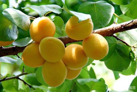 新疆独有的水果,果肉果核都能吃,摘下来一天就坏,吃过的人不多