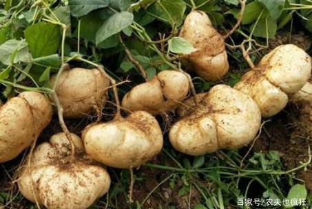 南方长在地下的水果,叫薯不是薯,剥皮就能生吃,种子却含剧毒