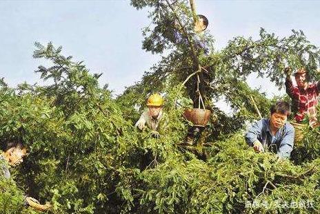 我国独有的植物,果实酷似橄榄,三年才成熟,干果卖400元1公斤